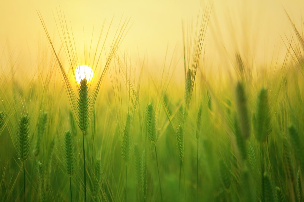 Sun Emerging behind the crop on Markar Sankranti