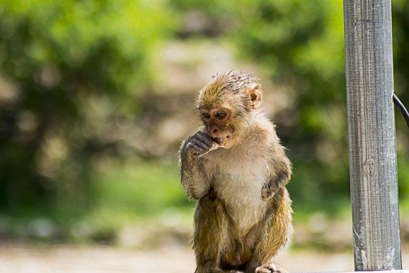Monkeys at Kainchi Ashram Nainital