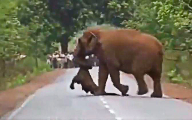 Elephant Herd Takes Out Funeral Procession For Dead Calf