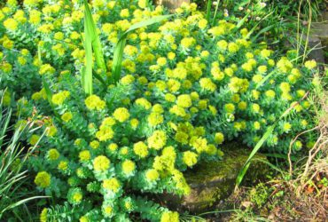Know About Sanjeevani 'Solo' Herb Plant found in Ladakh that PM Modi mentioned in his speech