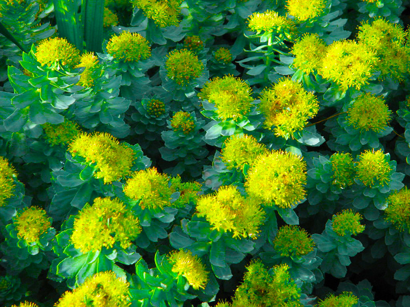 What's so special about Indian Rhodiola Rosea - Solo