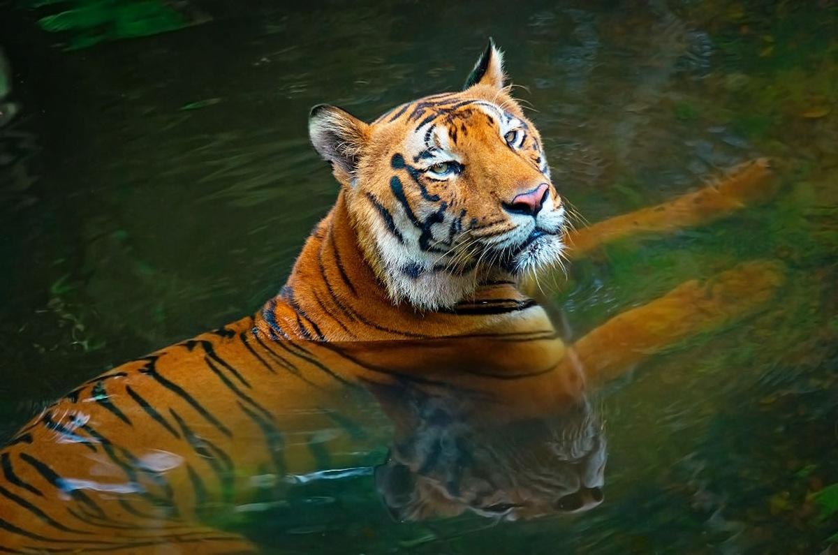Tiger in India Walks 2000 KM to Find a Suitable Partner