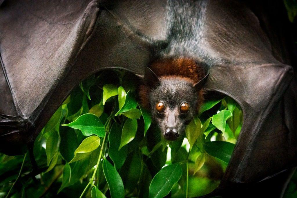 Bats and Coronavirus