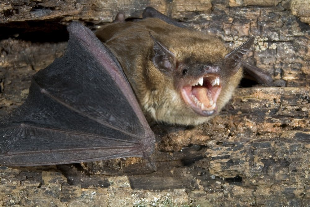 Bats have been the focus of several such studies