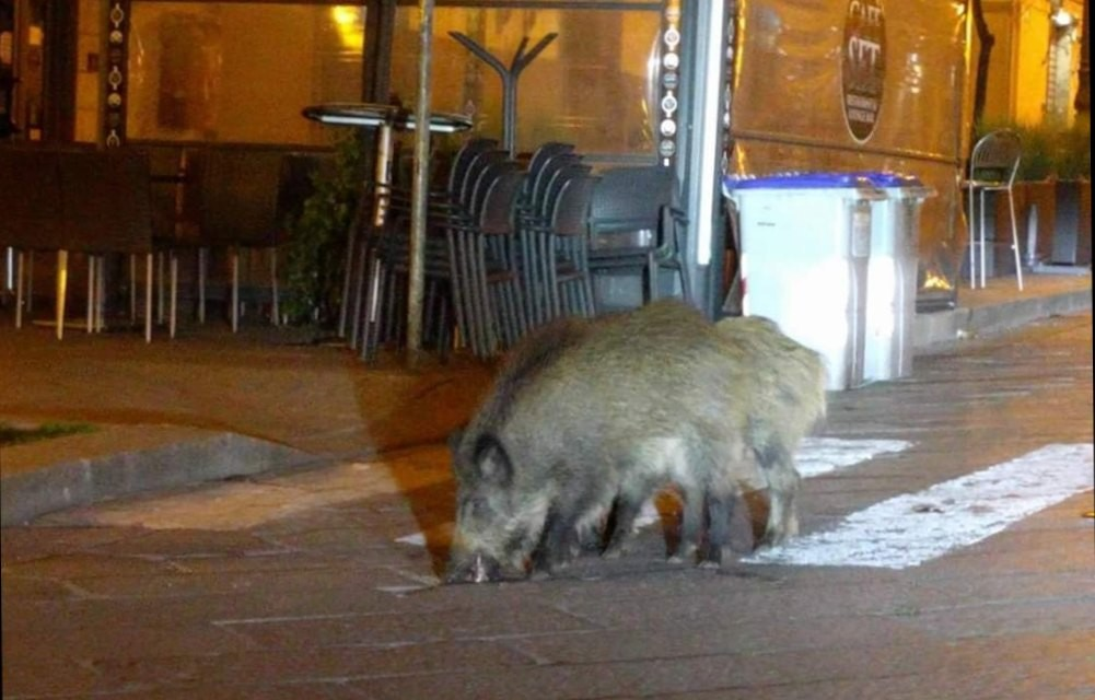 In Europe, wild boars descended from the hills