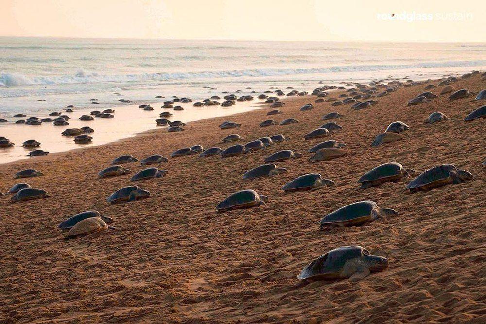 Olive Ridley sea turtles laid millions of eggs