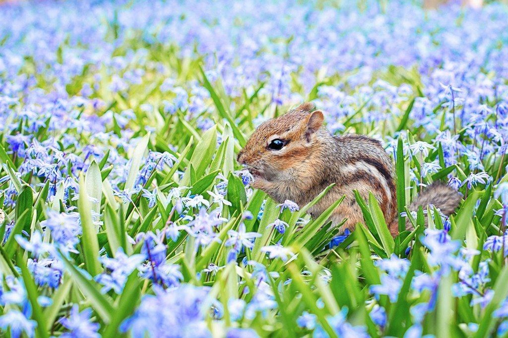 The white stripes on a squirrel's body are given by Lord Rama