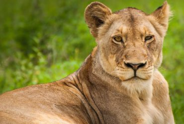Lion Dies from COVID-19 in Indian Zoo, Eight Other Lions Test Positive